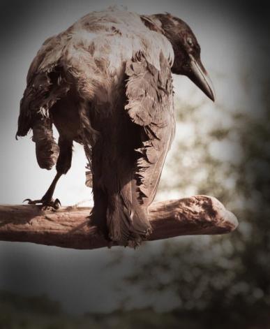 crow darkened